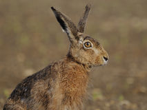 Sitting Hare ( Lepus Europaeus ) Royalty Free Stock Photos