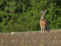 Sitting Hare ( Lepus europaeus ) Stock Images