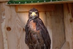 A sitting Harris`s hawk in park and looking on me with brown feathers royalty free stock images
