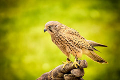 Sitting hawk Stock Photos