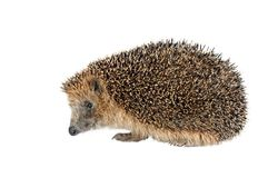 Sitting hedgehog Royalty Free Stock Photography