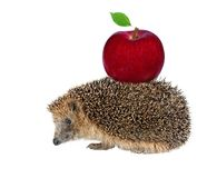 Sitting hedgehog with apple Stock Photography