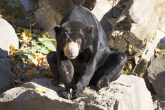 Sitting Helarctos malayanus, Malayan sun bear with large claws Stock Image