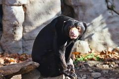 Sitting Helarctos malayanus, Malayan sun bear with large claws Stock Photography