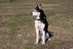Sitting husky Stock Photo