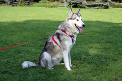 Sitting husky dog. In park on the grass Stock Image