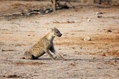 Sitting hyena Royalty Free Stock Photos
