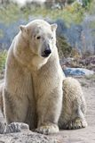 Sitting ice- or polarbear. Looking - vertical image Stock Photos