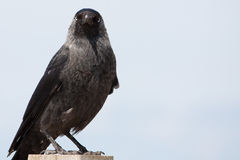 Sitting Jackdaw Royalty Free Stock Photography