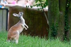 Sitting kangaroo Stock Image
