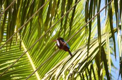 Sitting kingfisher and green big palm leaf detail photo Royalty Free Stock Photos