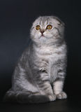 Sitting kitten of breed Scottish fold. Royalty Free Stock Photo