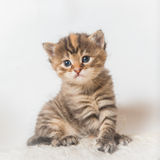 Sitting kitten Royalty Free Stock Photography