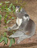 Sitting koala Stock Photos