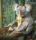 Sitting koala, Madrid, Spain Royalty Free Stock Photos