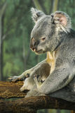 Sitting koala, Madrid, Spain Stock Image