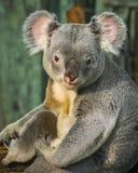 Sitting koala, Madrid, Spain Stock Photos