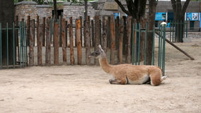 Sitting lama Royalty Free Stock Photo