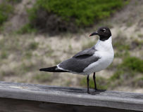 Sitting Laughing Gull Stock Photos