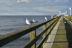 Sitting laughing gulls or sea gulls on banister of old wooden landing pier in the coast of Baltic sea Stock Photos