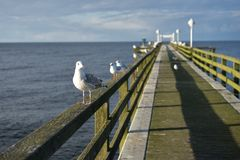 Sitting laughing gulls or sea gulls on banister of old wooden landing pier in the coast of Baltic sea Royalty Free Stock Photo