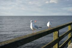 Sitting laughing gulls or sea gulls on banister of old wooden landing pier in the coast of Baltic sea Stock Image
