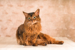 Sitting lazy somali cat on floor. Going to lick itself royalty free stock photos