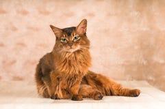 Sitting lazy somali cat on floor Royalty Free Stock Photos