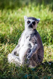 Sitting lemur Royalty Free Stock Image