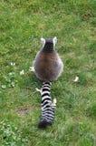 Sitting lemur Stock Photo