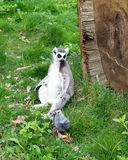 Sitting lemur Stock Photos