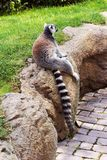 Sitting lemur on a stone on a hot summer afternoon. Photo royalty free stock photos