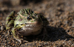 Sitting Leopard Frog Royalty Free Stock Photo