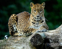 Sitting Leopard Royalty Free Stock Image