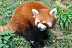 A sitting lesser panda Royalty Free Stock Image