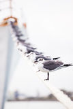 Sitting on a line. Sea gulls resting on a mooring line connected to a ship Stock Image
