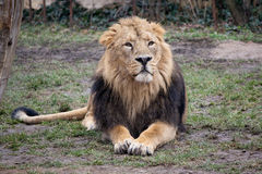 Sitting lion. Asiatic lion (Panthera leo persica) sitting near the tree at Prague ZOO Royalty Free Stock Image