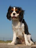 Sitting little dog Stock Photo