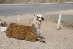 Sitting Llama Stock Photo
