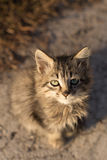 Sitting and looking at camera little gray cat Stock Photography