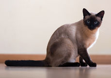 Sitting  and looking Siamese cat Stock Photo