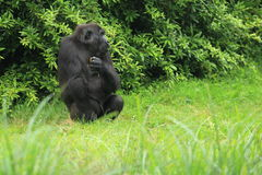 Sitting lowland gorilla Stock Photography