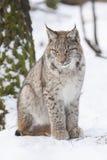 Sitting lynx Stock Photo