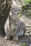 Sitting lynx Royalty Free Stock Photo