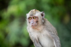 Sitting macaque monkey Royalty Free Stock Photography