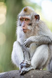 Sitting macaque monkey Stock Photo