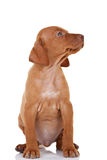 Sitting Magyar Vizsla. Looking to a side over white background Royalty Free Stock Photography