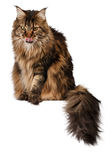 Sitting Maine Coon cat isolated on white Royalty Free Stock Photography