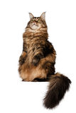 Sitting Maine Coon cat  isolated on white Royalty Free Stock Photos