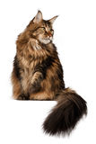 Sitting Maine Coon cat isolated on white Royalty Free Stock Images